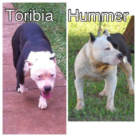 VENDO Cachorros American Staffordshire Terrier | Clasipar.com en ...