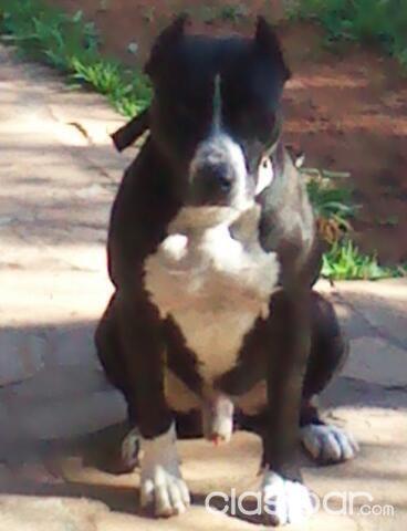 Pitbull: American Pit Bull Terrier (APBT) a la venta | Clasipar.com ...