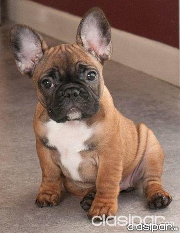 Cachorros Bulldog Frances Registrados Y Tatuados En El Pkc 766887