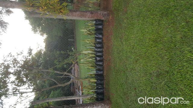 Plantas De Espada San Jorge 880627 Clasiparcom En Paraguay
