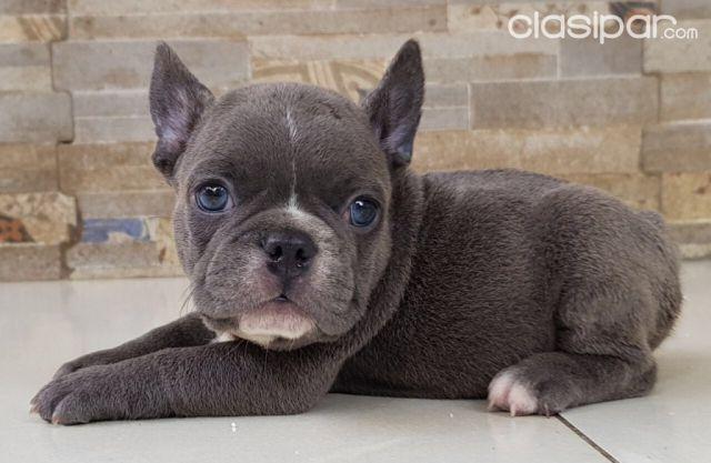 Bulldog Francés Blue 1018554 Clasiparcom En Paraguay